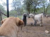 Goats and guineas